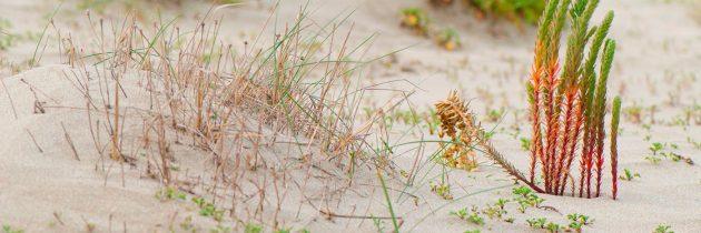 Végétation dans les dunes de Frontignan Plage. Photo © Alain Marquina